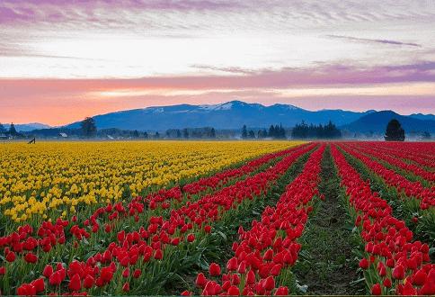 Campo de Tulipas no Vale de Skagit, Washington